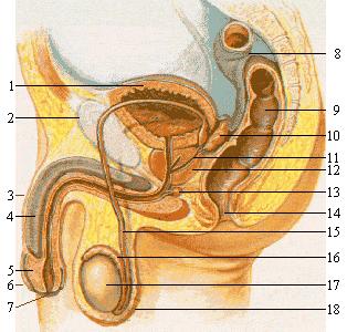 Mécanique du pénis et éjaculation - l'rgasme masculin