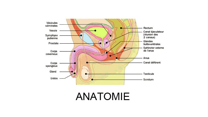 l'orgasme masculin - anatomie