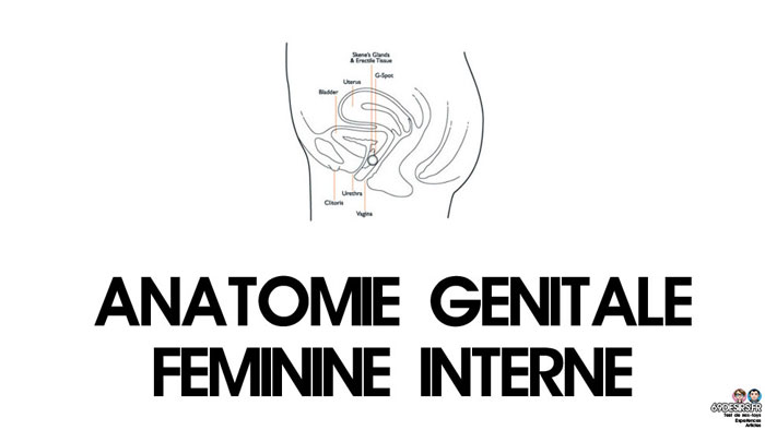 sexe oral - anatomie interne